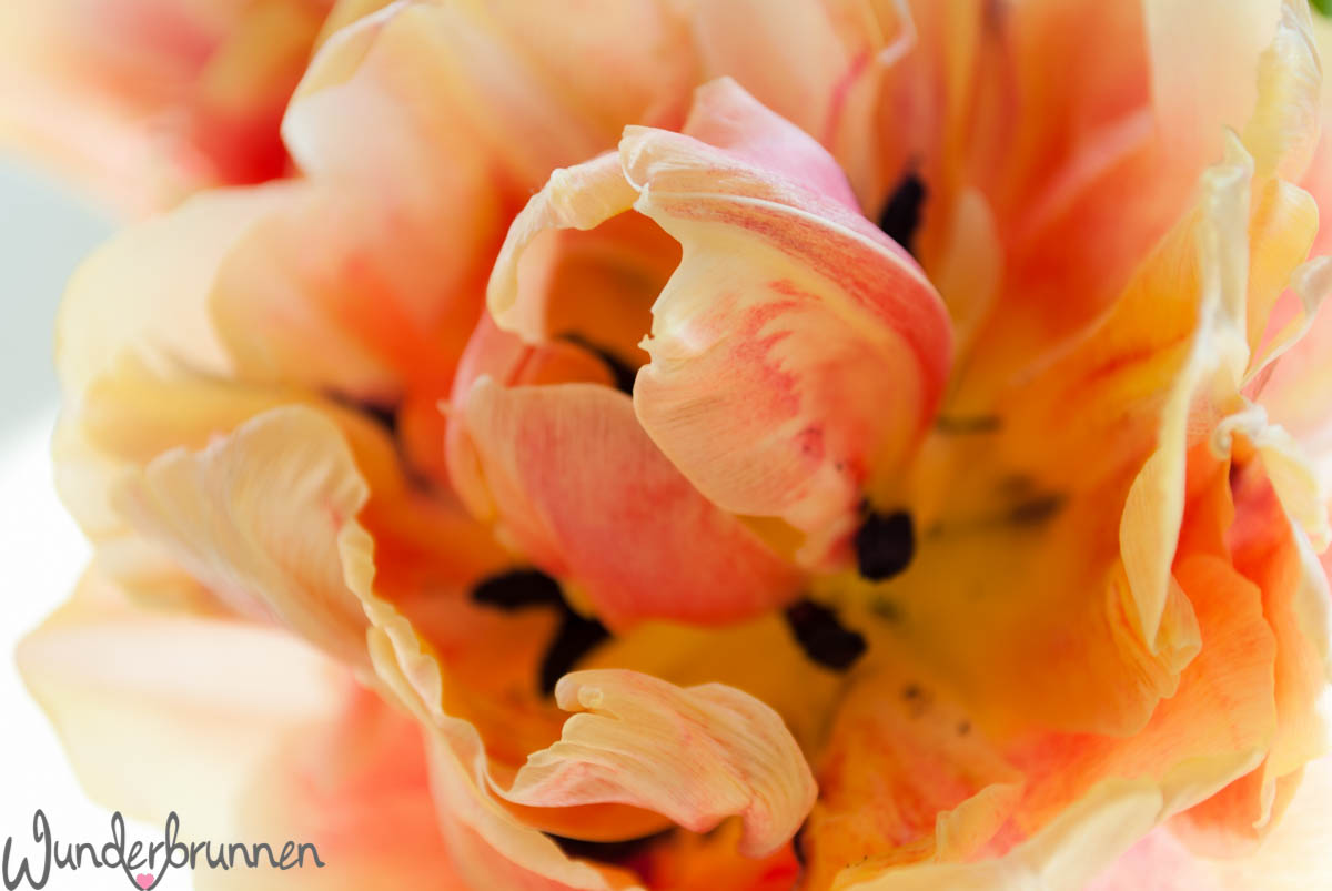 Tulpe closeup - Wunderbrunnen - Foodblog - Fotografie